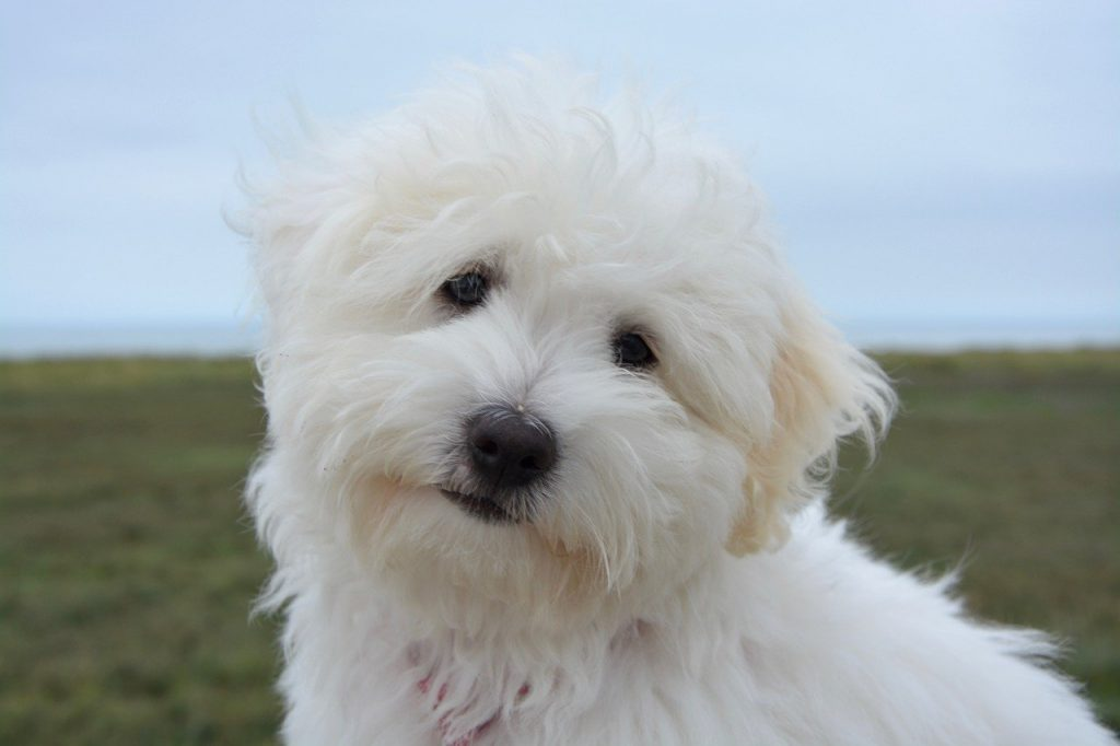 dog, puppy, cotton tulear